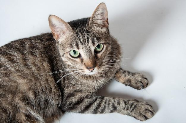 Bovenaanzicht van een schattige binnenlandse cyperse kat liggend op een wit oppervlak en nieuwsgierig kijken Gratis Foto