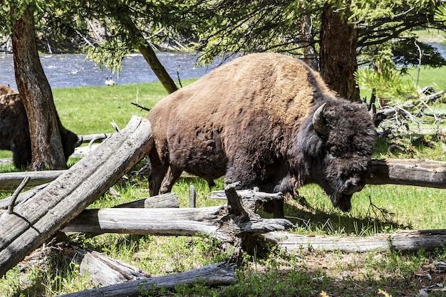 Boze buffels in nationaal park yellowstone Gratis Foto