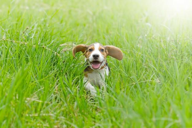 Brak (hond) puppy die op het heldergroene gras lopen Premium Foto