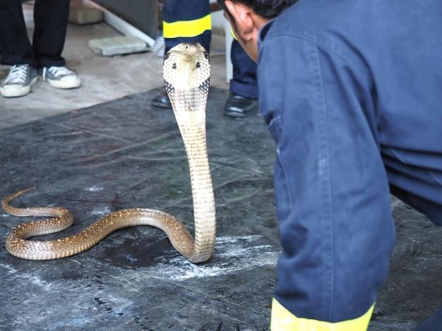 Brandweerman of redding demonstreren om een slang cobra (naja kaouthia) te vangen. Premium Foto