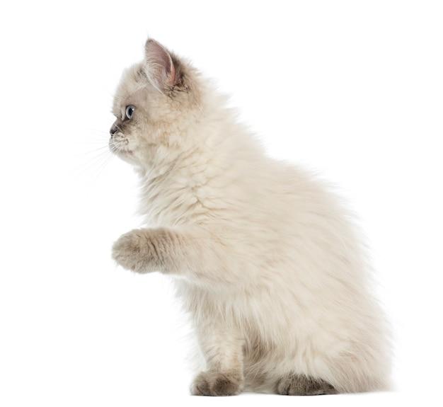Brits longhair-katje dat geïsoleerd omhoog handtastelijk wordt Premium Foto