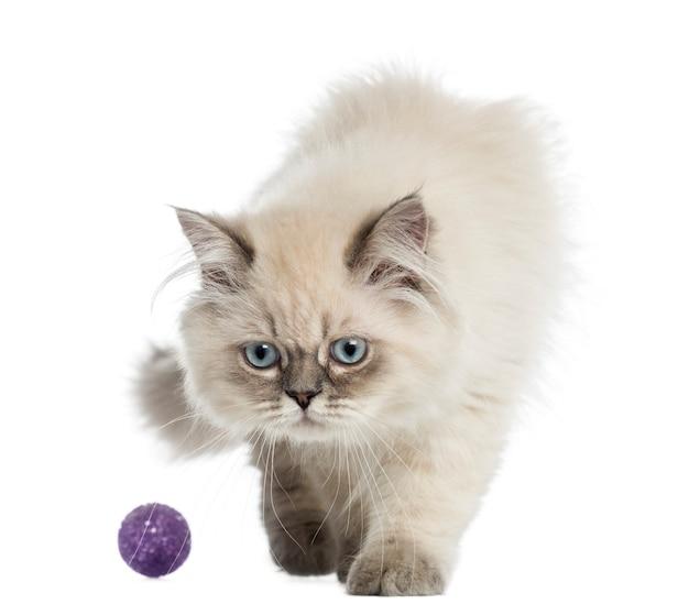 Britse langharige kitten spelen met een bal Premium Foto