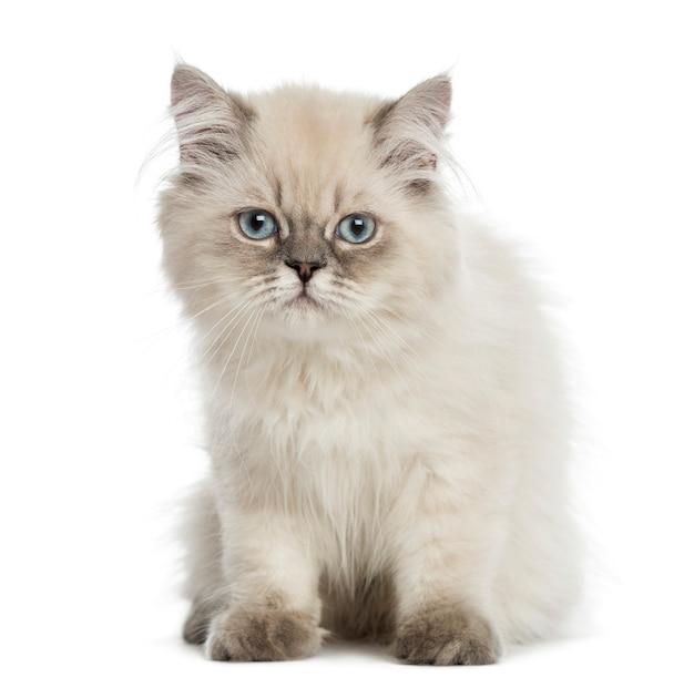 Britse langharige kitten, zitten, staren naar de camera Premium Foto