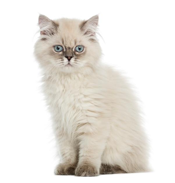 Britse longhair-katjeszitting, die de camera bekijken, op wit wordt geïsoleerd Premium Foto