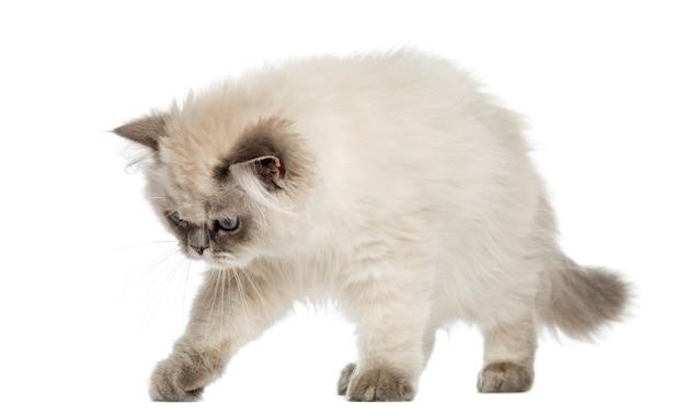 Britse longhair kitten alert, op zoek naar beneden geïsoleerd op wit Premium Foto
