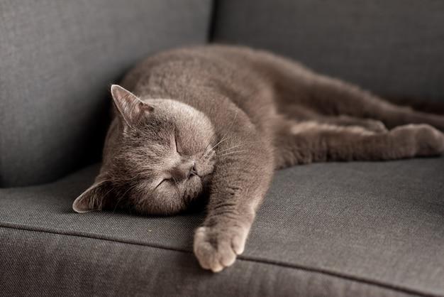 Britse shorthair-kat die op witte lijst ligt. copy-ruimte Premium Foto