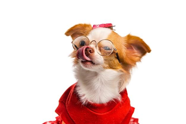 Bruin chihuahua-hondwijfje gekleed in rood en glazen op een witte achtergrond Premium Foto