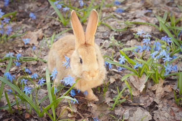 Bruin pluizig konijntje in een weide van blauwe bloemen. een klein decoratief konijn gaat op groen gras in openlucht Premium Foto