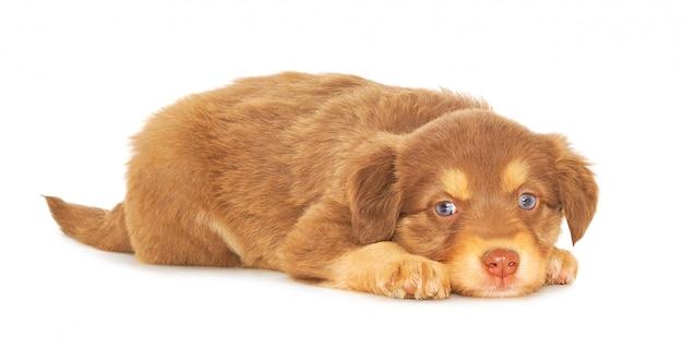 Bruin puppy dat op witte achtergrond wordt geïsoleerd Premium Foto