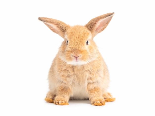 Bruin schattig baby konijn geïsoleerd op wit Premium Foto