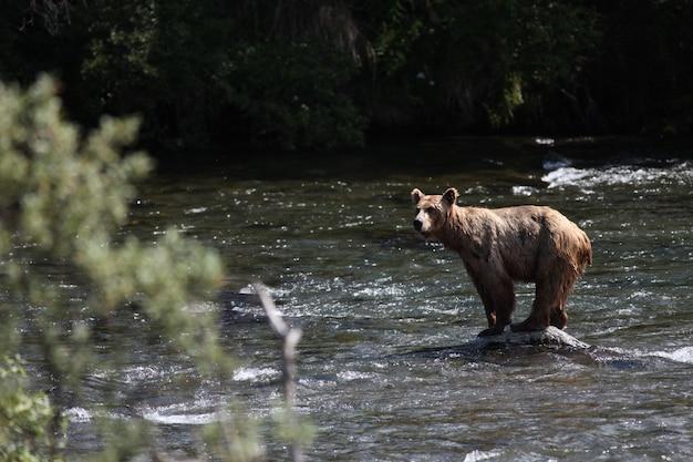 Bruine beer die een vis vangt in de rivier in alaska Gratis Foto