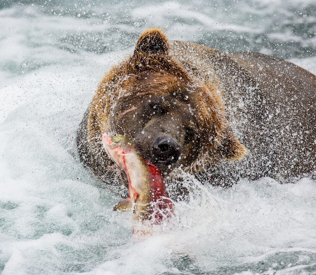 Bruine beer eet zalm in de rivier Premium Foto