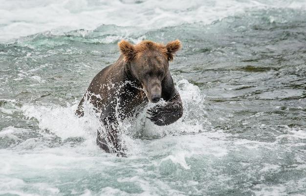Bruine beer loopt in het water in de rivier Premium Foto