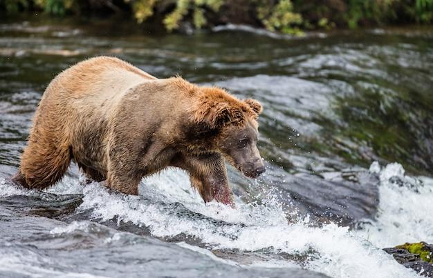 Bruine beer staat in de rivier Premium Foto