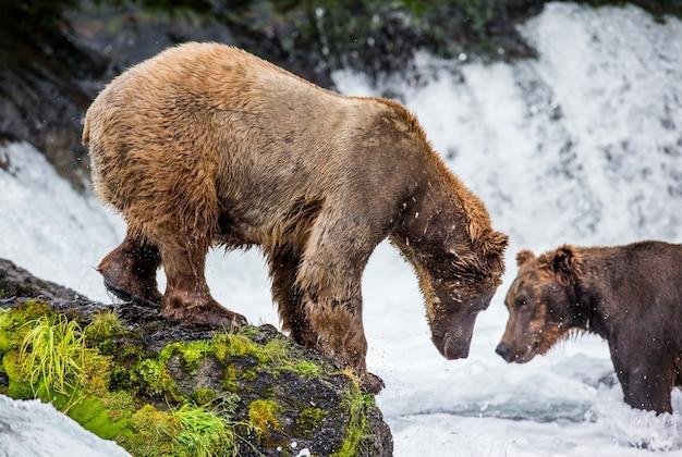 Bruine beer staat op een rots midden in de rivier Premium Foto