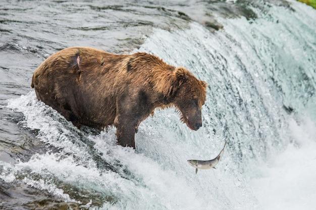 Bruine beer vangt een zalm in de rivier Premium Foto