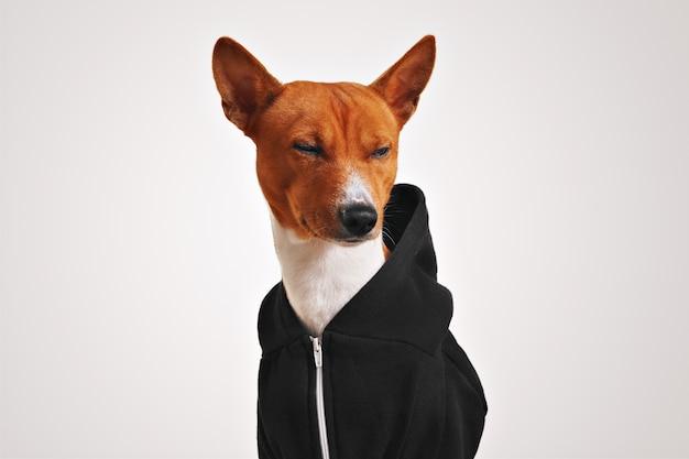 Bruine en witte basenji hond in een zwarte hoodie met metalen rits loenst minachtend geïsoleerd op wit Gratis Foto