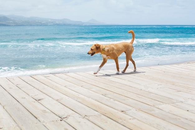 Bruine hond die langs de weg naast het blauwe overzees loopt. zomertijd. Premium Foto