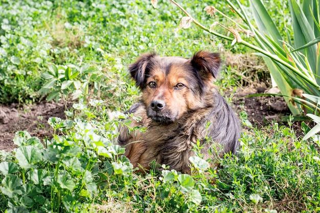 Bruine hond die op het gras in de tuin ligt. hond beschermt het pand Premium Foto