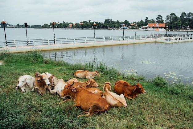 Bruine koe zit pool aan de zijkant Gratis Foto