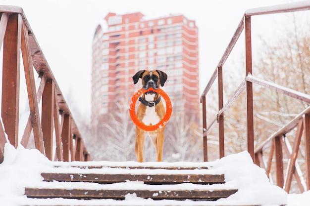 Bruine pedigreed hond met oranje cirkelstuk speelgoed die op de brug op de achtergrond van groot huis blijven. bokser Premium Foto