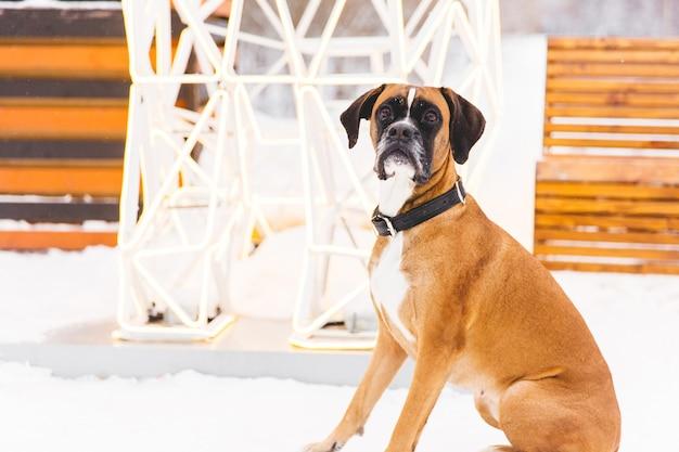 Bruine pedigreed hondzitting in de sneeuw. bokser. mooie jagerhond Premium Foto