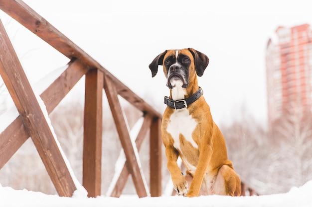 Bruine pedigreed hondzitting in de sneeuw op een brug. bokser. mooie jagerhond Premium Foto