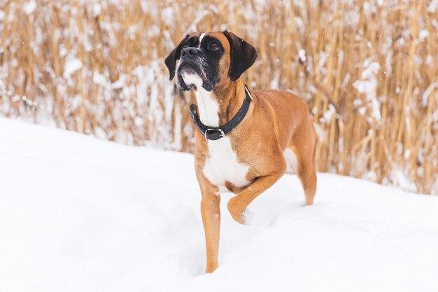 Bruine pedigreedhond die op het sneeuwgebied lopen. bokser. mooie jagerhond Premium Foto
