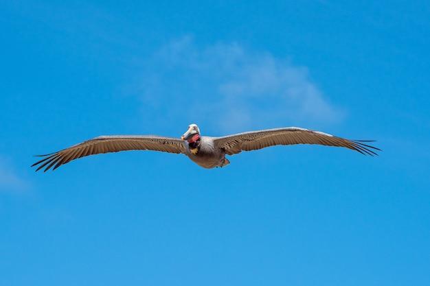 Bruine pelikaan tijdens de vlucht met een heldere blauwe hemel en een wolk als achtergrond Premium Foto