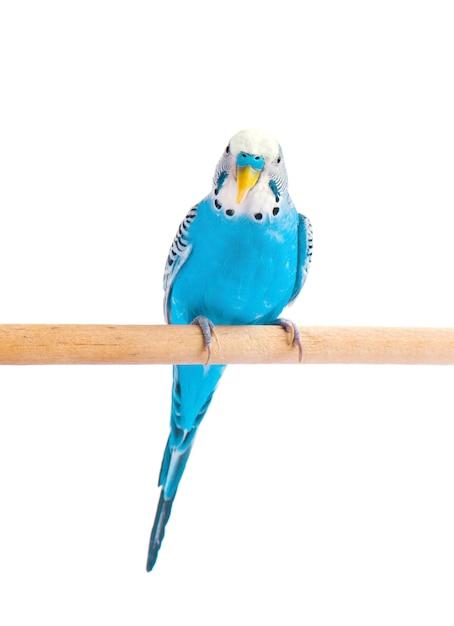 Budgie blauw, geïsoleerd op wit. grasparkiet in volle groei Premium Foto