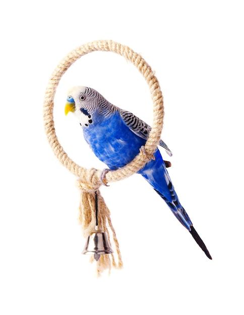 Budgie blauw, geïsoleerd op wit. grasparkiet op de stok Premium Foto