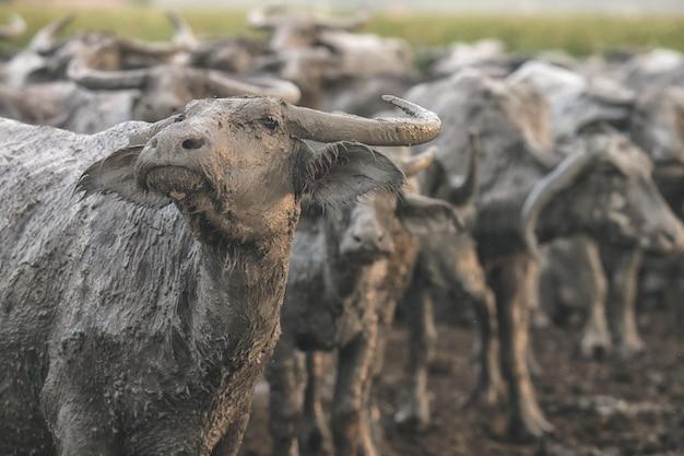 Buffel die is opgeheven in de behuizing Premium Foto