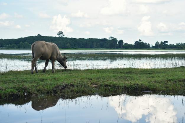 Buffel in veld eten van het gras in thailand Premium Foto