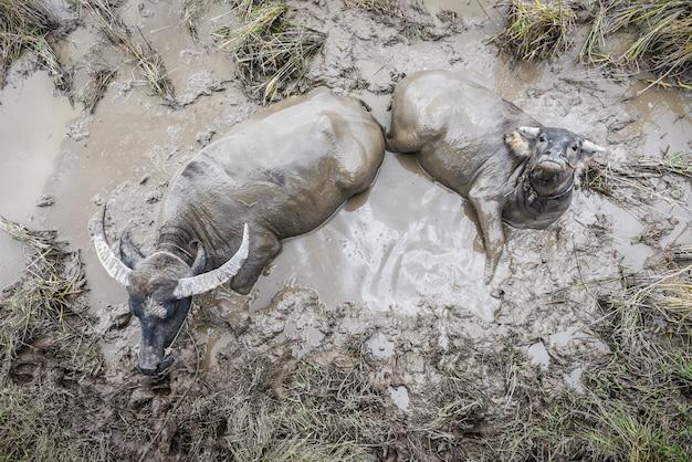 Buffels thai doorweekt in het moeras - waterbuffel in een moddervijver bij het veedieren azië, hoogste mening van de landbouwbedrijflandbouw Premium Foto