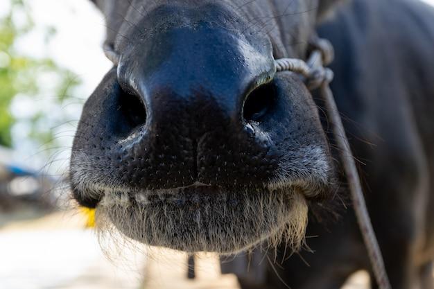 Buffelsmond en neus die gras op het landbouwbedrijfvlees eten Premium Foto