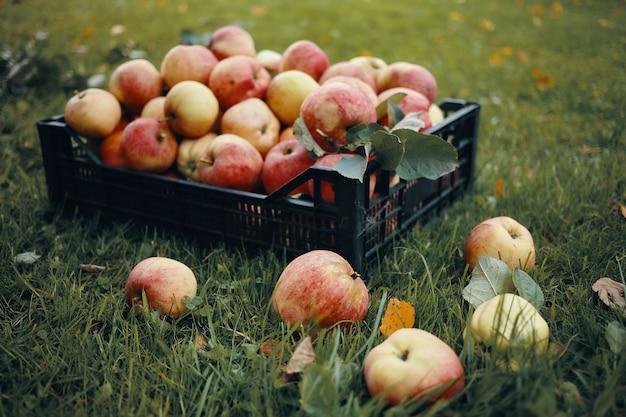 Buitenfoto van vers geplukte rode appels in plastic krat en wat fruit verspreid over groen gras. oogsttijd, herfst, tuinbouw, tuinieren, natuurlijk biologisch voedsel en voedingsconcept Gratis Foto