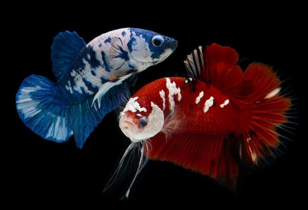 Buitensporige beti vissen van de koimelkweg. Premium Foto