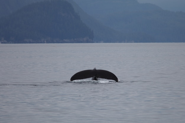 Bultrugvin in de zee in alaska Gratis Foto