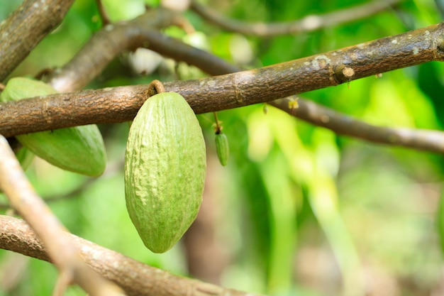 Cacaoboom (theobroma cacao). biologische cacaovruchtpeulen in de natuur. (chocoladeboom) Premium Foto