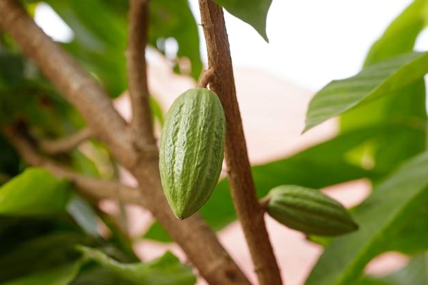 Cacaoboom (theobroma cacao). biologische cacaovruchtpeulen in de natuur. Premium Foto