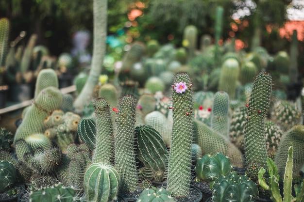 Cactus boom close-up Premium Foto
