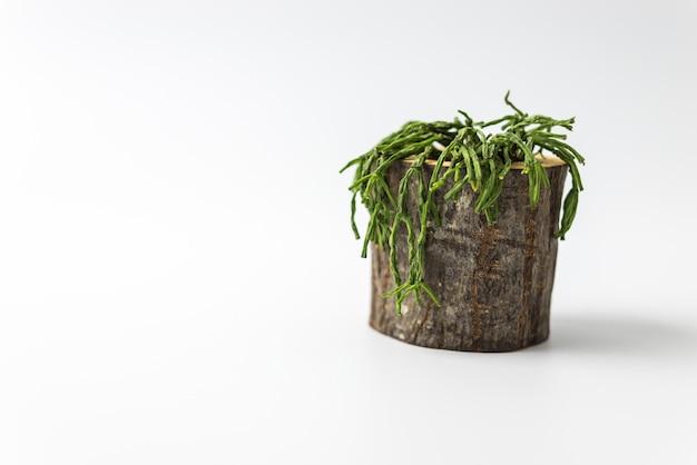 Cactusinstallatie op wit geïsoleerde achtergrond Premium Foto