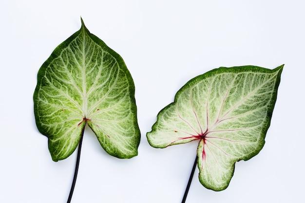 Caladium bladeren op wit. bovenaanzicht Premium Foto