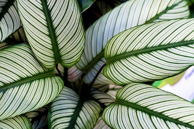 Calathea ornata, verschillend gestreepte, pin-stripe of pin-stripe calathea planten bladeren close-up Premium Foto