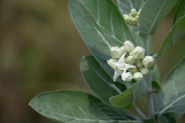Calotropis bloem Premium Foto