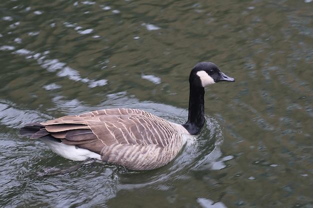 Canada ganzen in londen waterway Premium Foto