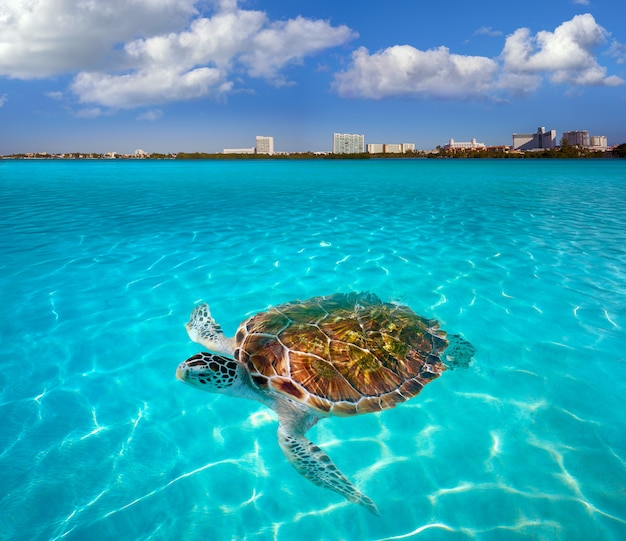 Cancun hotel zone turtle mexico photomount Premium Foto