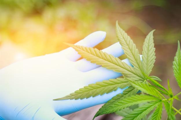 Cannabisboomkruid in huis voor een goede, gezonde remedie Premium Foto