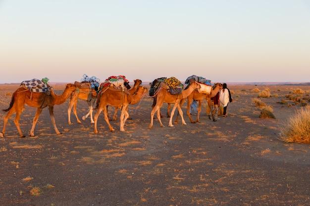 Caravan van kamelen in de sahara woestijn Premium Foto