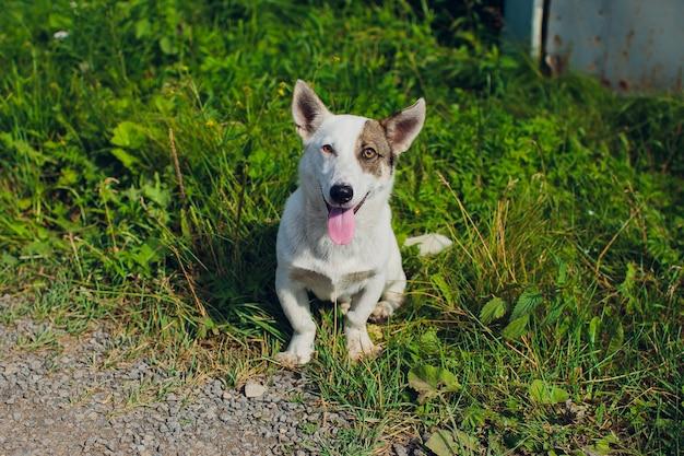 Cardigan welsh corgi kijkt opzij pooch dier Premium Foto